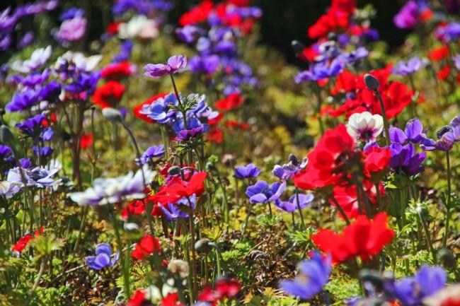 """Разные расцветки одного и того же сорта анемоны, """"де Каен"""""""