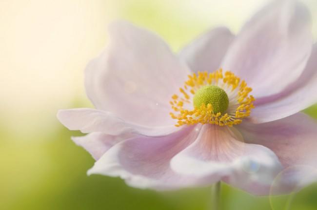 Японская осеннецветущая анемона с бледно-розовыми лепестками