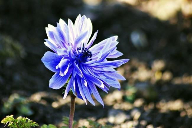 Один из самых удачных и красивых сортов, выведенных селекционерами: анемона Лорд Лейтенант