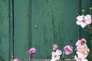 Фото 14 Анемоны, посадка и уход (50 фото): как вырастить хрупкий цветок-неженку