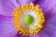 Фото 10 Анемоны, посадка и уход (50 фото): как вырастить хрупкий цветок-неженку