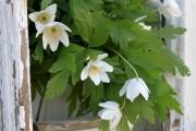 Фото 16 Анемоны, посадка и уход (50 фото): как вырастить хрупкий цветок-неженку