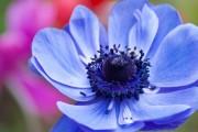 Фото 2 Анемоны, посадка и уход (50 фото): как вырастить хрупкий цветок-неженку
