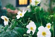 Фото 5 Анемоны, посадка и уход (50 фото): как вырастить хрупкий цветок-неженку