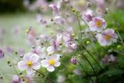 Фото 17 Анемоны, посадка и уход (50 фото): как вырастить хрупкий цветок-неженку