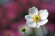 Фото 18 Анемоны, посадка и уход (50 фото): как вырастить хрупкий цветок-неженку