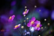 Фото 20 Анемоны, посадка и уход (50 фото): как вырастить хрупкий цветок-неженку