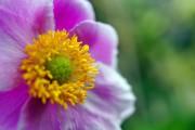 Фото 8 Анемоны, посадка и уход (50 фото): как вырастить хрупкий цветок-неженку