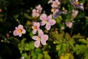 Фото 27 Анемоны, посадка и уход (50 фото): как вырастить хрупкий цветок-неженку