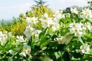 Фото 7 Чубушник (кустарник жасмин) – 55 фото: сорта и виды, посадка и дальнейший уход