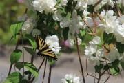Фото 29 Чубушник (кустарник жасмин) – 55 фото: сорта и виды, посадка и дальнейший уход