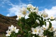 Фото 1 Чубушник (кустарник жасмин) – 55 фото: сорта и виды, посадка и дальнейший уход