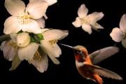Фото 23 Чубушник (кустарник жасмин) – 55 фото: сорта и виды, посадка и дальнейший уход