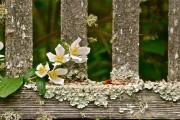 Фото 25 Чубушник (кустарник жасмин) – 55 фото: сорта и виды, посадка и дальнейший уход