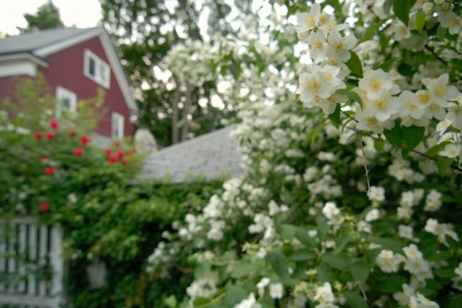 Чубушник (кустарник жасмин) – 55 фото: сорта и виды, посадка и дальнейший уход