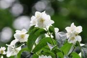 Фото 4 Чубушник (кустарник жасмин) – 55 фото: сорта и виды, посадка и дальнейший уход