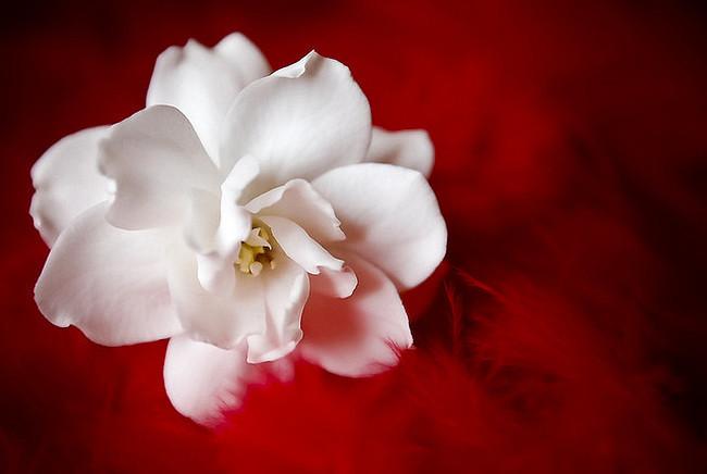 Срезанные цветы гардении обладают потрясающей декоративностью