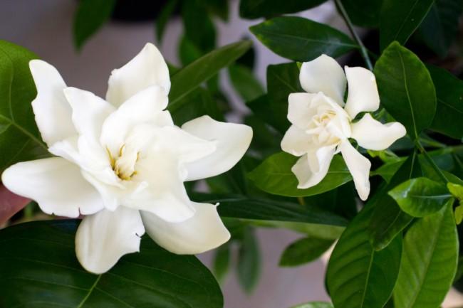 У таитянских сортов гардении довольно крупные цветы (на фото - рядом с цветком более распространенной гардении jasminoidea (жасминовидной)