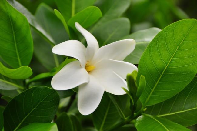 Гавайская гардения известна сильным пряным теплым ароматом