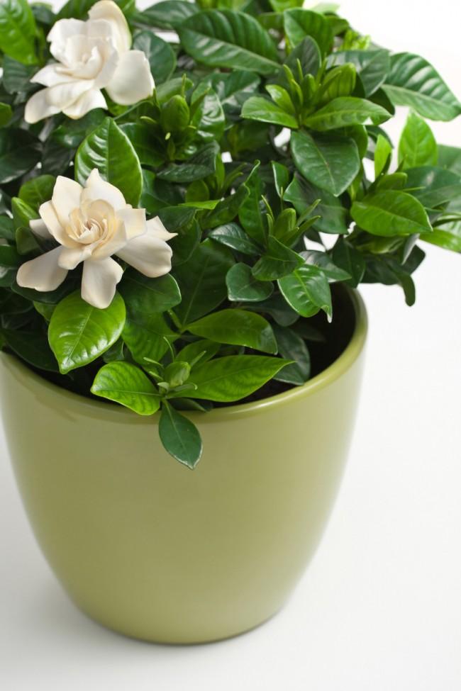 Молодое растение жасминовидной гардении в горшке