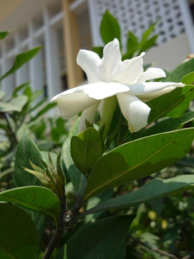 Маленькие кустики гардении Radicans очень хорошо смотрятся в ландшафтных композициях непосредственно вблизи дома, и вдобавок дают сильный приятный аромат