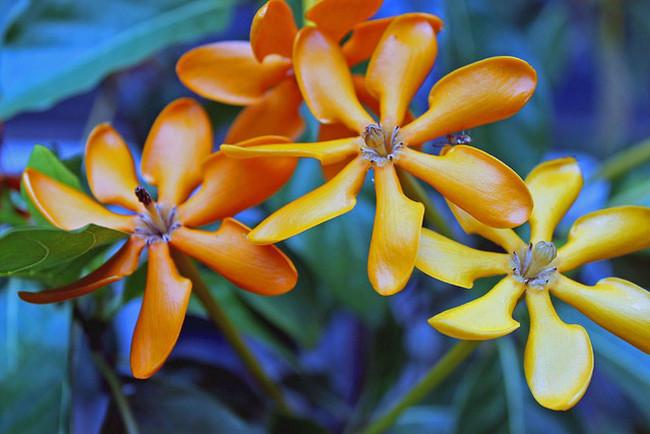 Благодаря своей красоте гардения завоевала любовь и восхищение цветоводов-любителей еще в XVIII веке