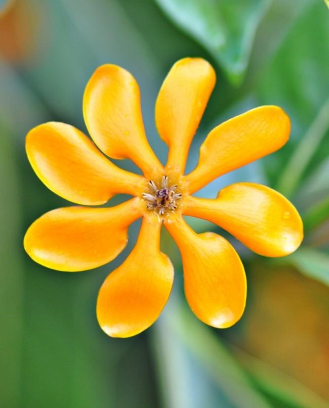 Гардения Kula (золотая гардения) - одна из разновидностей гардении Tubifera