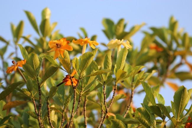 Гардения, как и многие тропические растения, лучше всего реагирует на чередование органических и минеральных удобрений