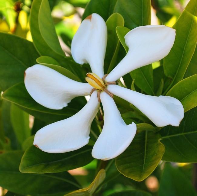 Большие ароматные цветы и сочные глянцевые листья вьетнамской гардении