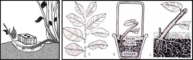 Кроме способа с черенкованием, для гардении также работает способ с отводками (на рисунке показан способ фиксации ветви для ее укоренения)