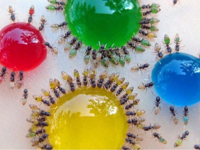 Как избавиться от муравьев в частном доме. Муравьи довольно быстро наедаются в приманках с отравой - это хорошо видно на фото муравьев вокруг сиропа с красителем
