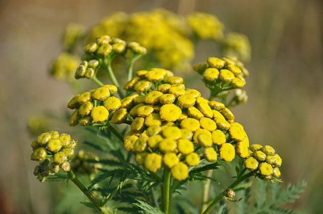 Как вывести клопов. Пижма, - издавна популярное в народной медицине растение, имеет также довольно выраженный эффект против клопов
