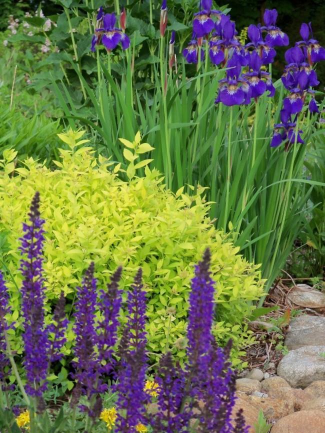 Красивый контраст ирисов и лимонно-желтых листьев спиреи Голден Карпет
