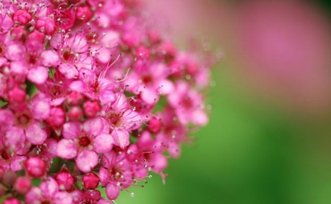 Изящные розовые соцветия спиреи Crispa