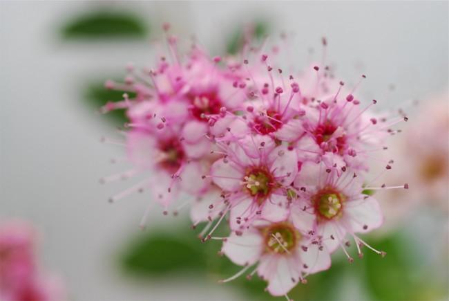 Спирея японская хорошо вопринимает подкормку и минеральными, и органическими удобрениями