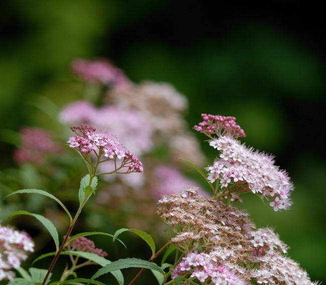 Нежно-розовые соцветия спиреи японской Литтл Принсесс