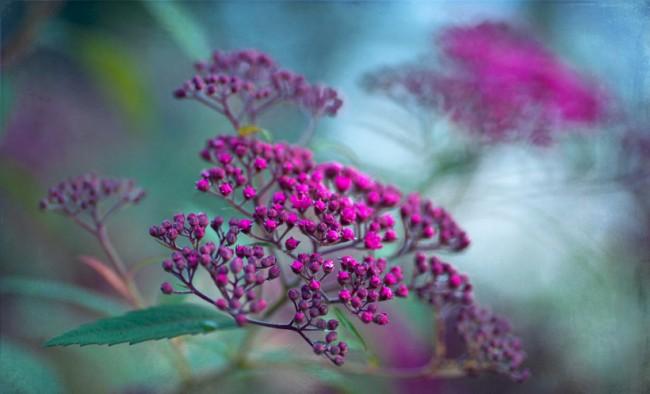 Спирея японская готовится к цветению