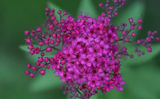 Насыщенный розовый оттенок мелких цветов спиреи японской сорта Фробели (Froebelii)