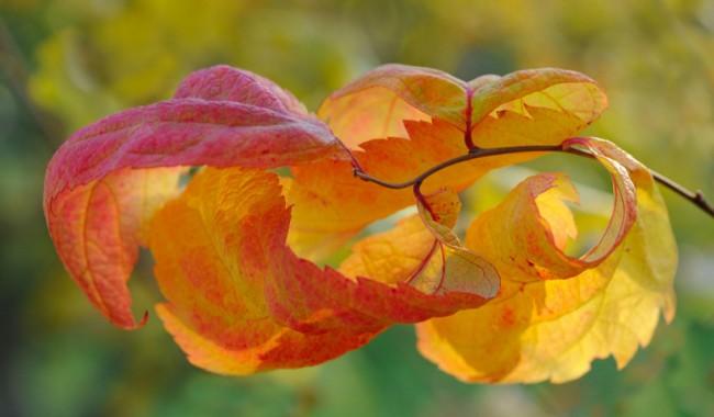 Листья спиреи японской сорта Макрофилла также меняют свой цвет на протяжении сезона