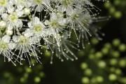 Фото 12 Спирея японская (55 фото): посадка и уход, сорта и виды спиреи