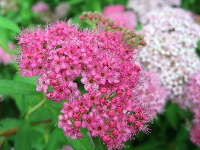 На соцветиях спиреи Широбана можно увидеть цветы одновременно почти белого и насыщенно-розового цветов