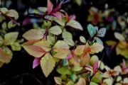 Фото 21 Спирея японская (55 фото): посадка и уход, сорта и виды спиреи