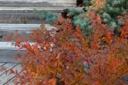 Фото 8 Спирея японская (55 фото): посадка и уход, сорта и виды спиреи