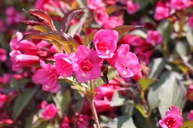 Как и всем растениям вейгеле требуется уход, но вейгела достаточно нетребовательна и при этом обладает достойными декоративными качествами
