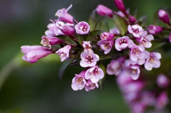 Вейгела с сиреневыми цветами