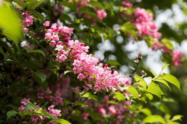 Вейгелу лучше всего высаживать в начале весны