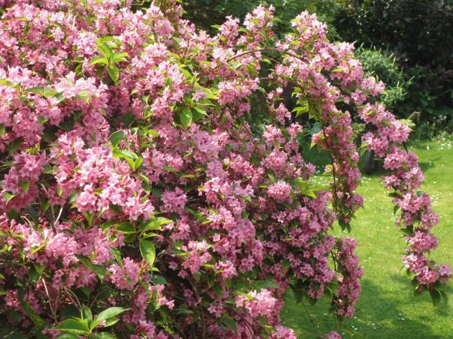 Светло-розовый куст вейгелы