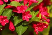 Фото 15 Вейгела (49 фото): виды,  особенности ее посадки и выращивания