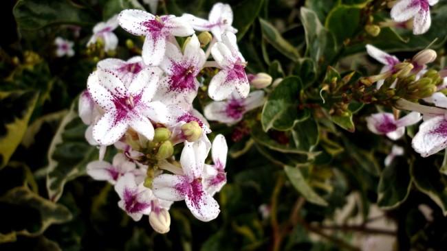 Белые с фиолетовым основание цветы вейгелы