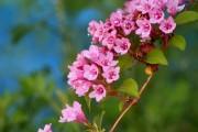 Фото 17 Вейгела (49 фото): виды,  особенности ее посадки и выращивания